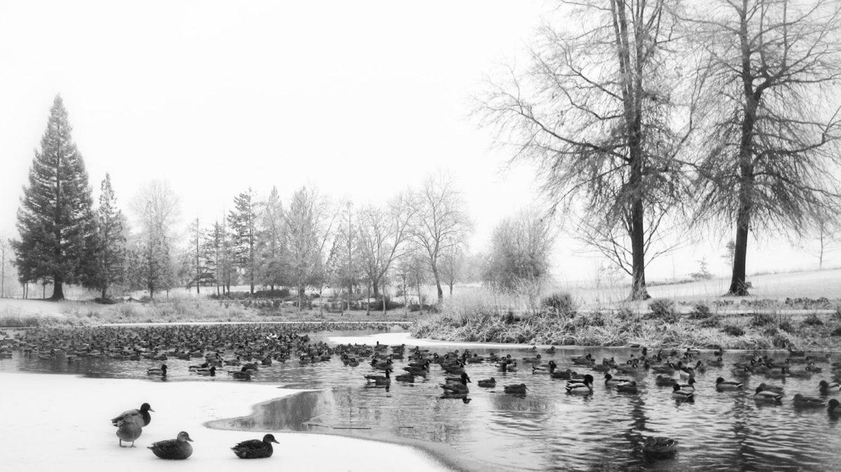 Canada geese and mallard ducks congregate on a Dawson Creek pond