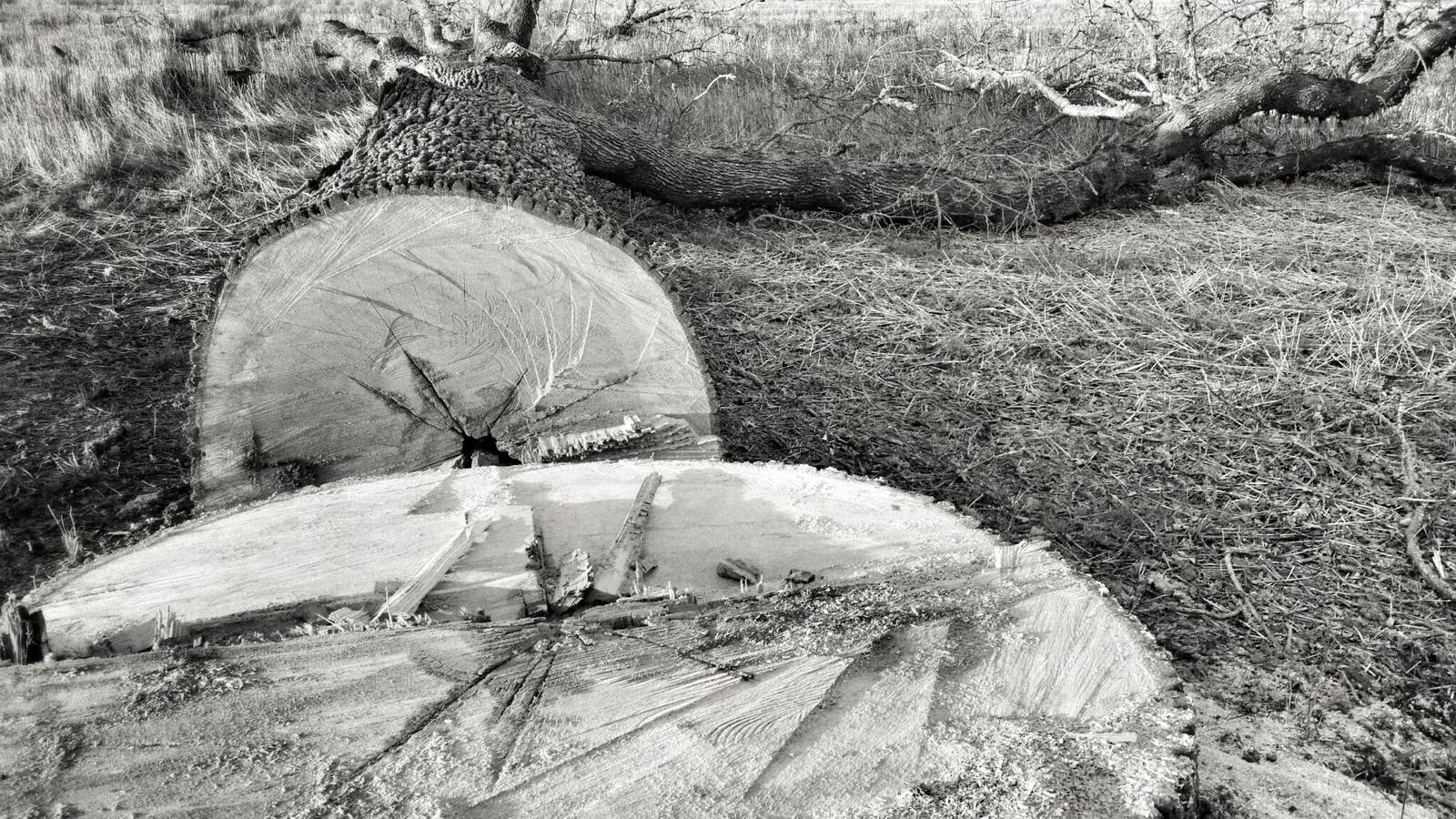 Oak Felled
